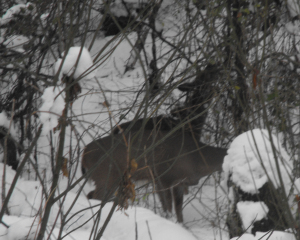Two deer eating in the snow