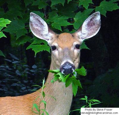 deer eating leaf