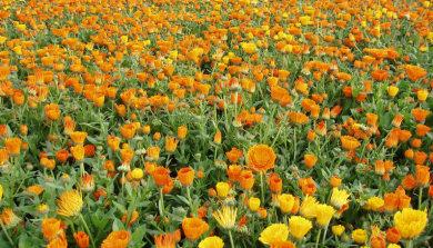 field of marigolds as deer deterrent
